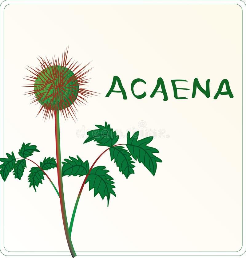 Planta Acaena libre illustration