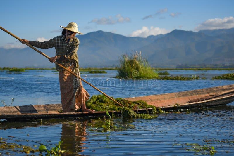 Planta acuática de la cosecha birmana de la mujer en el lago Inle foto de archivo libre de regalías