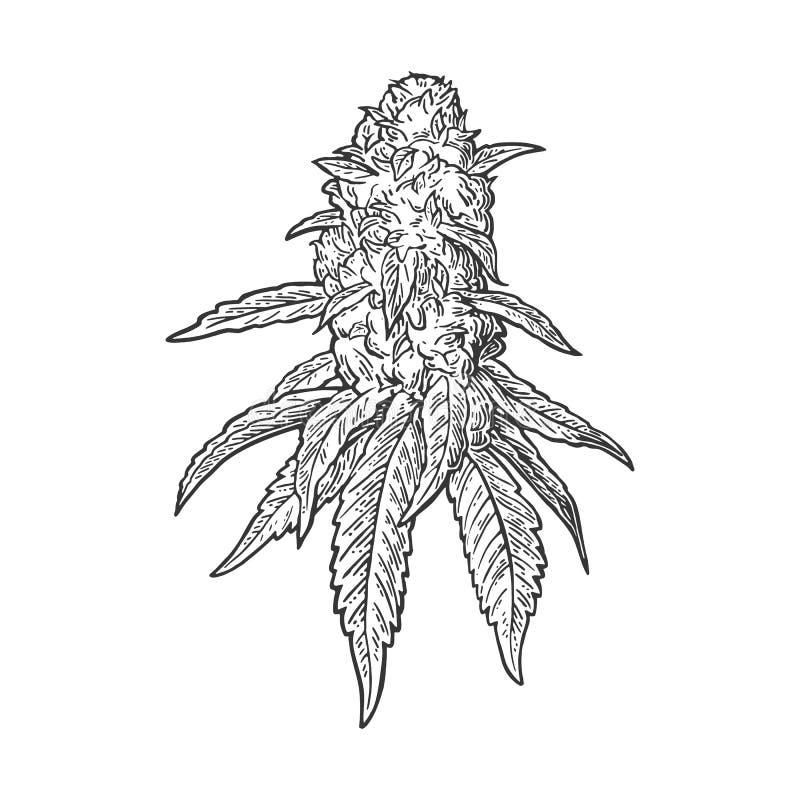 Planta adulta de la marijuana con las hojas y los brotes Ejemplo del grabado del vector stock de ilustración