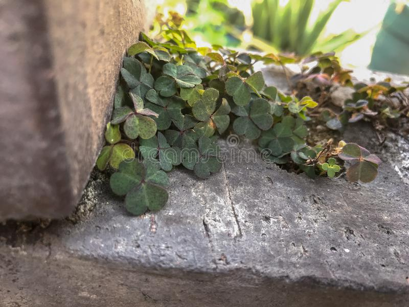 Planta afortunada 02 del liverwort de la horticultura imagenes de archivo