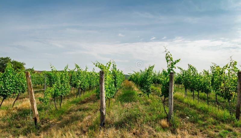 Planta agradable del viñedo, agricultura, sur Moravia, República Checa imágenes de archivo libres de regalías