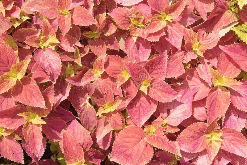 Planta amarelo e vermelho do perilla para a textura e o fundo imagem de stock royalty free