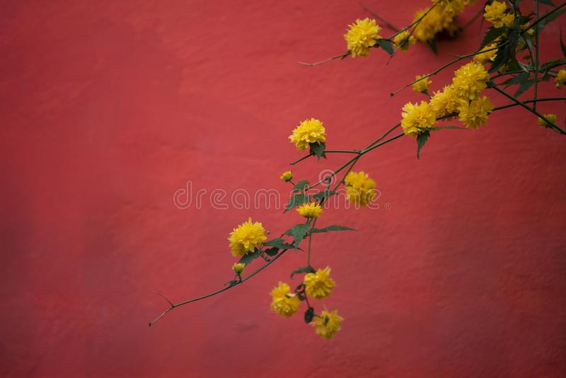 Planta amarilla del flor que cuelga en una pared roja fotos de archivo