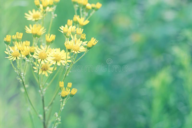 Planta amarilla maravillosamente floreciente de la mala hierba de la flor en fondo verde borroso imagen de archivo