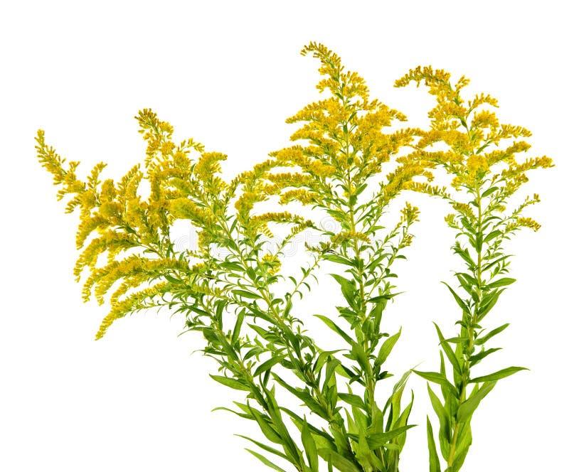 Planta amarilla oscura fotografía de archivo