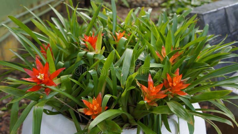 Planta amarilla y anaranjada de la bromelia fotos de archivo
