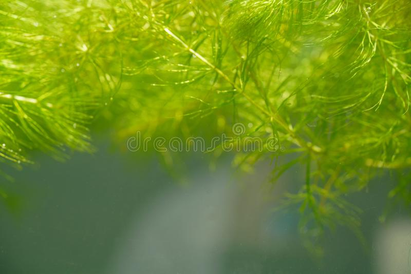 Planta aquática tropical na lagoa de água doce fotos de stock