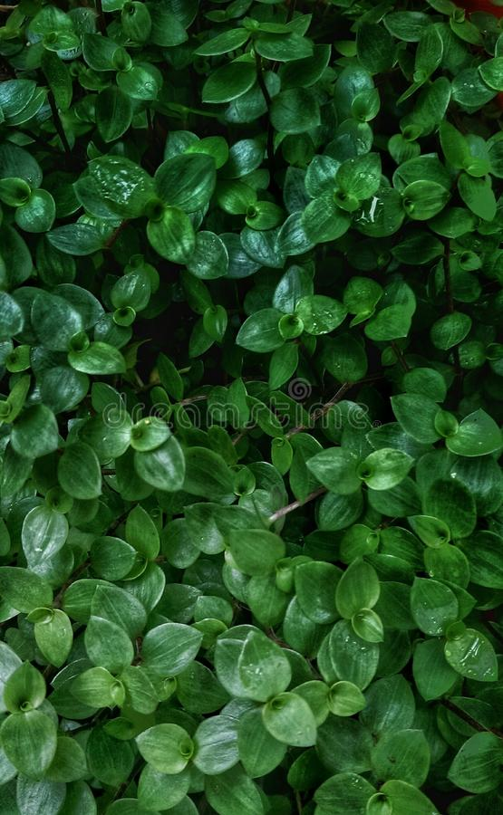 Planta asiatica de Centella fotos de stock