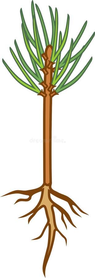 Planta av sörja-trädet med gröna visare och att rota systemet stock illustrationer