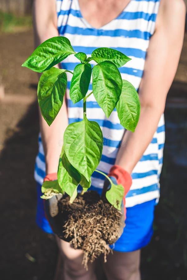 Planta av spansk peppar i händer royaltyfri bild