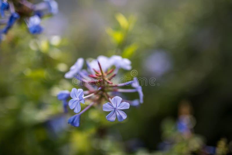 Planta azul roxa do borrão de Bokeh da flor da cor imagem de stock