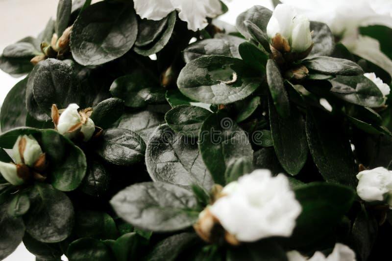 Planta blanca asombrosa hermosa de la azalea con las flores en sitio soleado foto de archivo libre de regalías