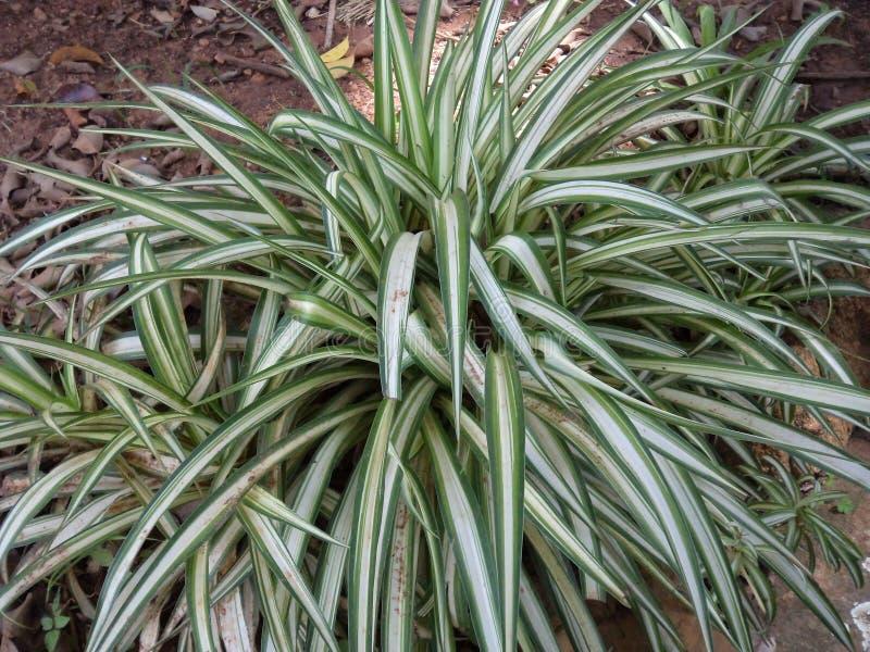 Planta blanca verdosa del angustifolia del agavo fotografía de archivo