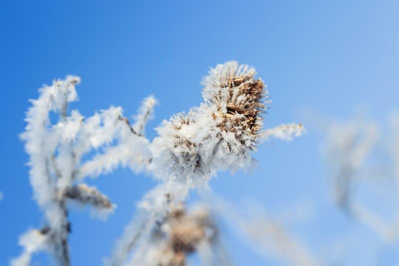 Planta bonita seca, briar espinhoso coberto com os cristais brilhantes o fotografia de stock royalty free
