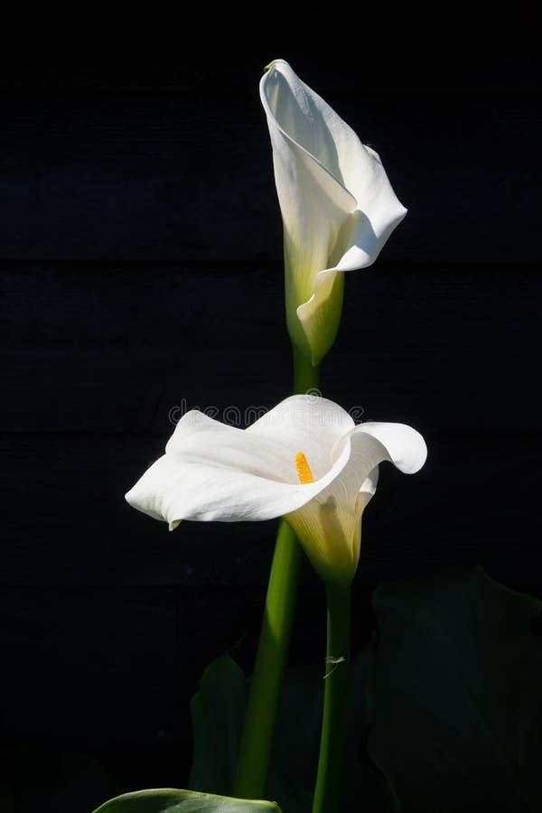 Planta branca do lírio de calla com as flores no fundo preto, KE escuro foto de stock