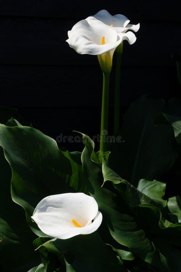 Planta branca do lírio de calla com as flores no fundo preto, KE escuro fotos de stock royalty free