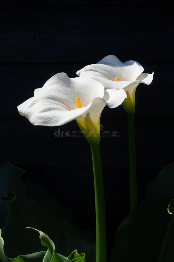 Planta branca do lírio de calla com as flores no fundo preto, KE escuro fotografia de stock royalty free