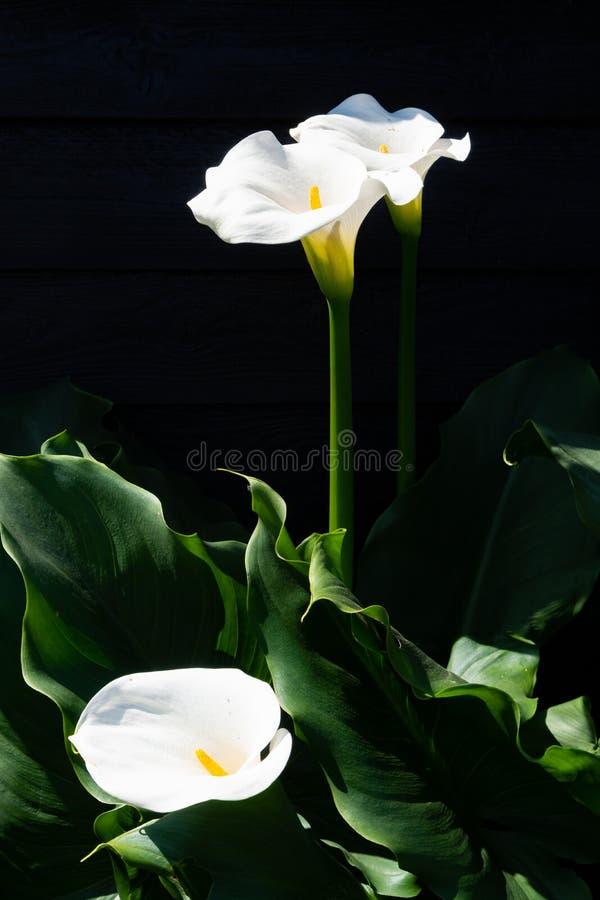 Planta branca do lírio de calla com as flores no fundo preto, KE escuro fotos de stock