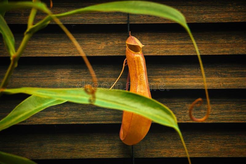 Planta carnívora do Nepenthes em casa foto de stock