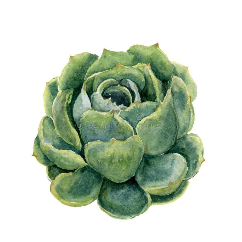 Planta carnuda da aquarela Ilustração tirada mão no fundo branco Para o projeto, a matéria têxtil e o fundo Illustr botânico real ilustração do vetor