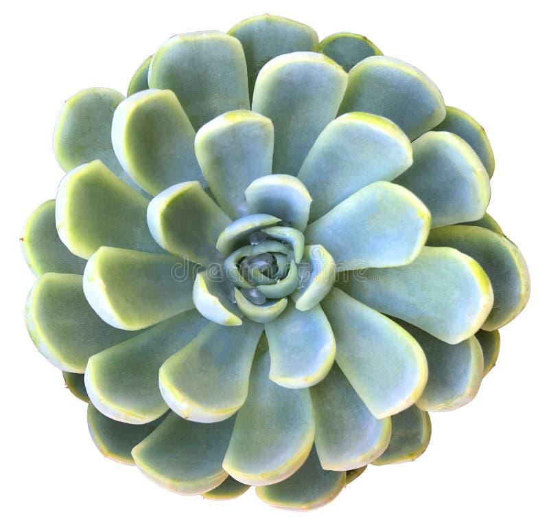 Planta carnuda de Echeveria Elegans fotografia de stock