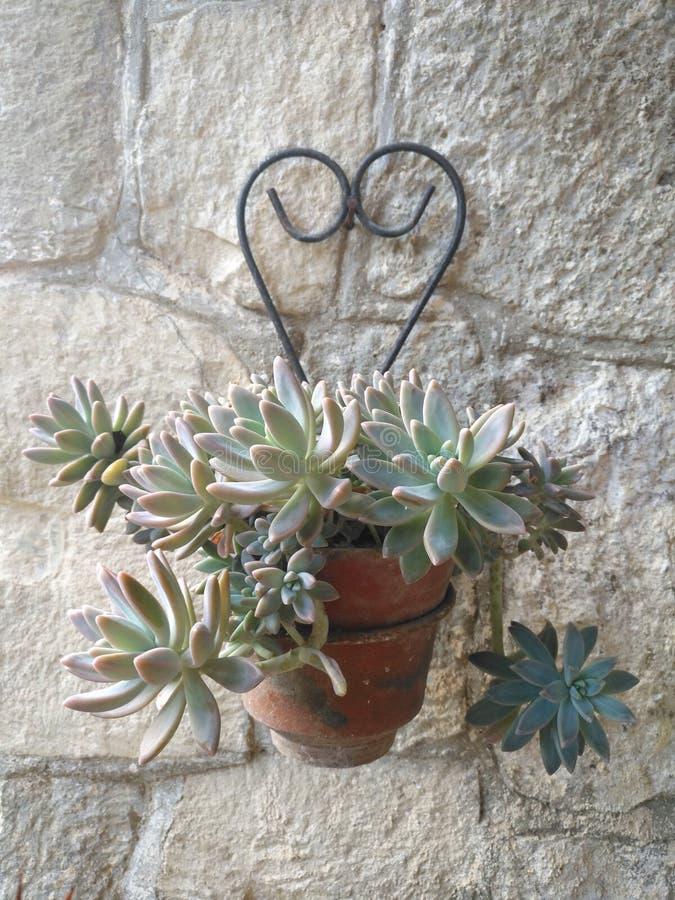 Planta carnuda no potenciômetro de argila que pendura na parede rústica imagem de stock royalty free