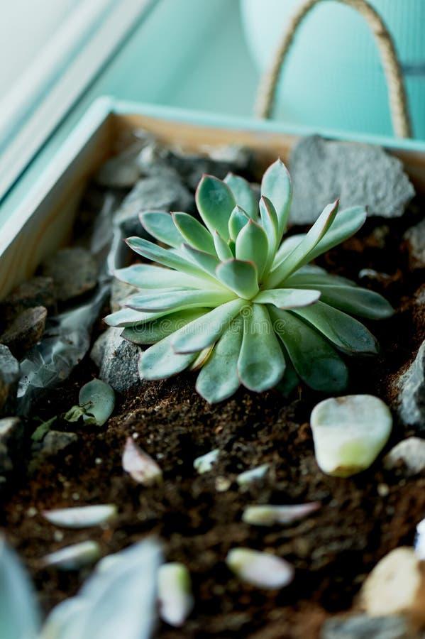 Planta carnuda, plantada em uma caixa de madeira, com a adição de pedras imagem de stock