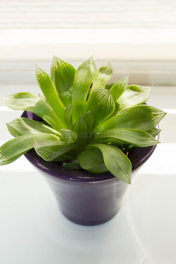 Planta carnuda, plantas exóticas na janela, fim acima imagem de stock