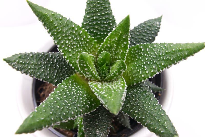 Planta carnuda pontilhada verde em um potenciômetro imagem de stock