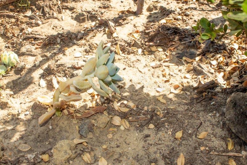 Planta carnuda que cresce lateralmente na Califórnia imagens de stock royalty free