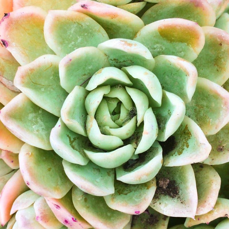 Planta carnuda simétrica imagens de stock royalty free