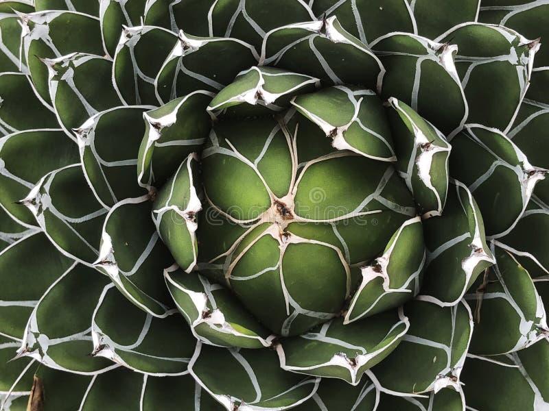 A planta carnuda planta a textura imagem de stock royalty free