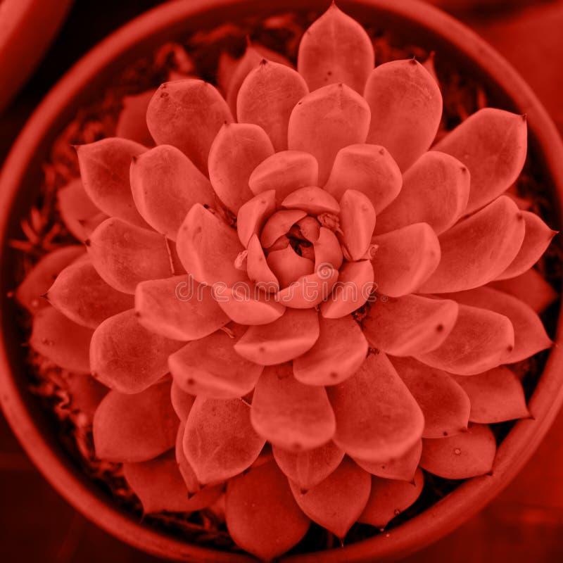 Planta carnuda tonificada na cor na moda do ano 2019, vista superior Planta suculento de Echeveria, fim acima fotografia de stock royalty free