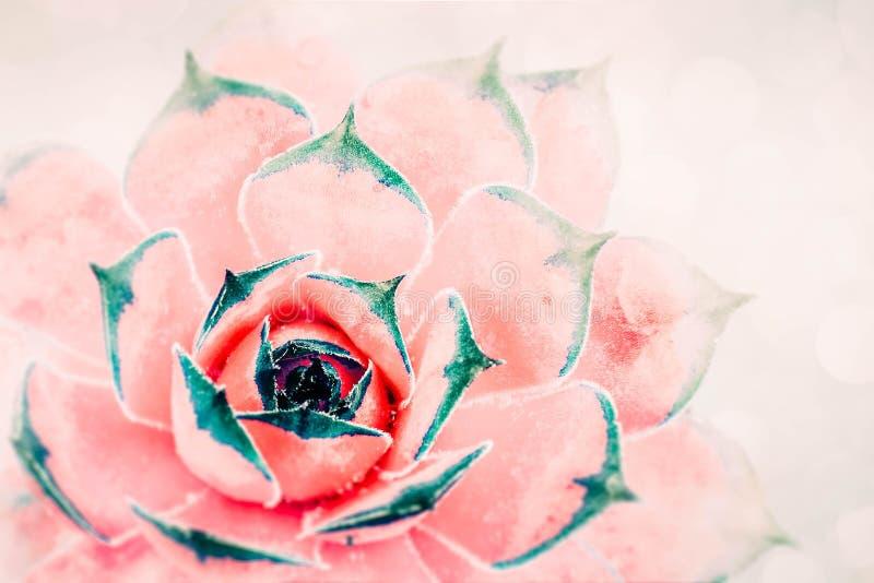 Planta carnuda vermelho-cor-de-rosa brilhante do cacto no fundo delicado do foco da luz suave Cacto natural bonito, vista superio foto de stock