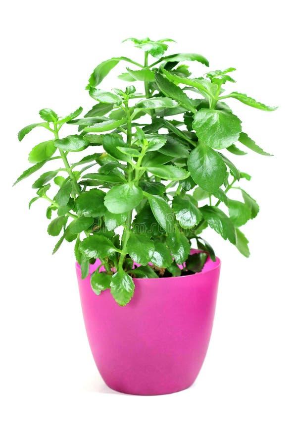 Planta casera en crisol de flor en el fondo blanco imágenes de archivo libres de regalías