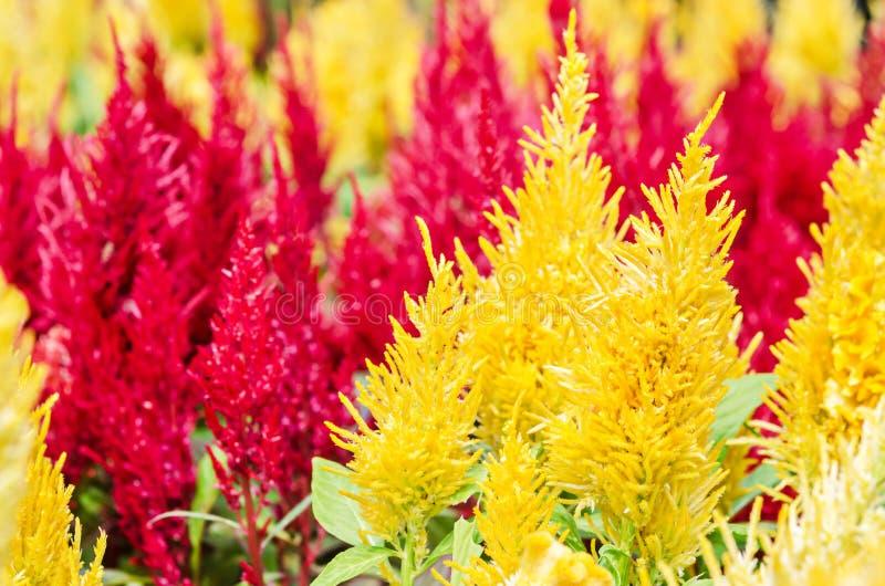 Planta colorida da flor da crista amarela e vermelha imagens de stock royalty free