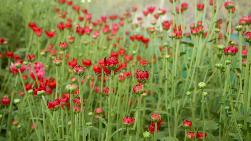 Planta colorida do crisântemo da flor dentro do greenh fotografia de stock