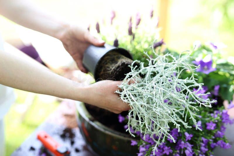 planta com cor prateada da folha fotos de stock royalty free