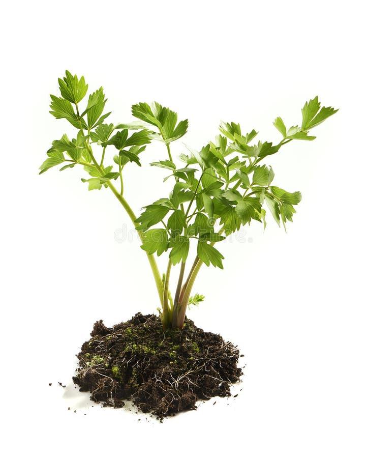 Planta com folhas fresca e saudável da salsa fotografia de stock royalty free