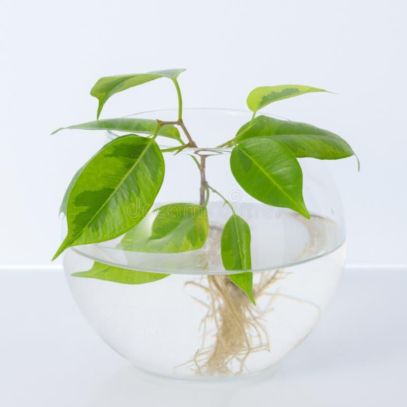 A planta com raizes está no frasco de vidro, vaso Em um fundo branco imagens de stock