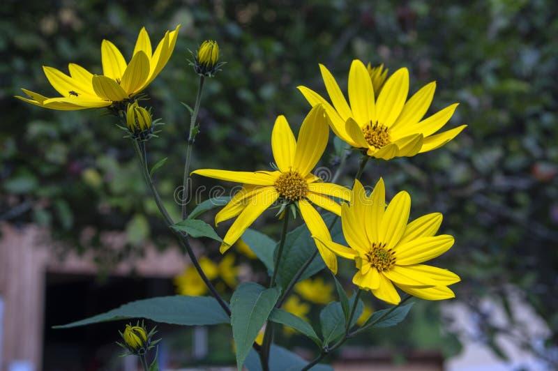 Planta comestible ornamental del tuberosus del Helianthus en la floración, flores florecientes amarillas foto de archivo