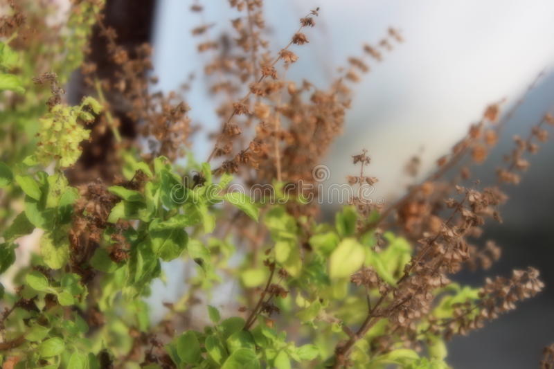 Planta completamente aclarada del tulsi imagen de archivo
