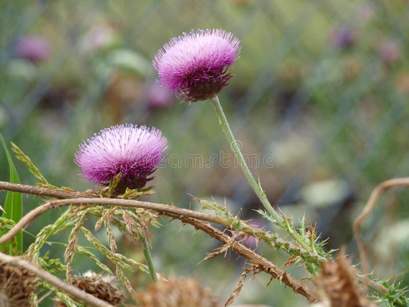 Planta comum do cardo na flor fotos de stock