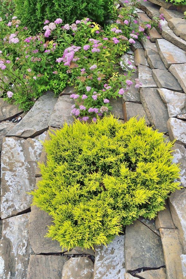 Planta conífera sempre-verde decorativa - zimbro amarelo na paisagem de pedra do jardim foto de stock royalty free