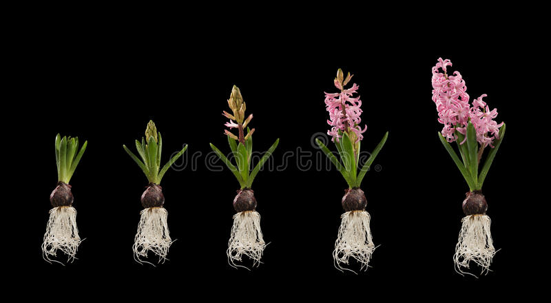 Planta con las etapas del crecimiento de flor aisladas fotos de archivo libres de regalías