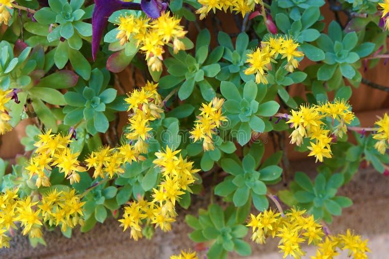 planta con las flores amarillas, uva de gato, palmeri de Sedum imágenes de archivo libres de regalías