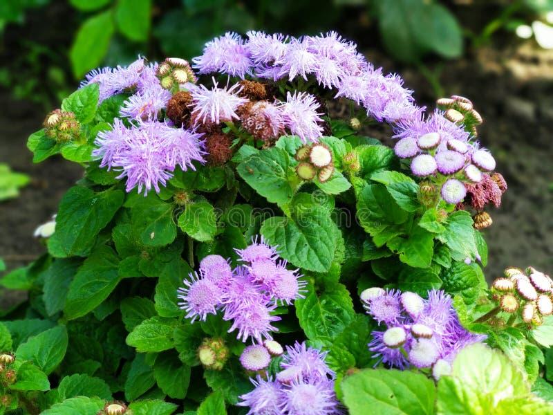 planta con las flores púrpuras dobles en el jardín imagen de archivo