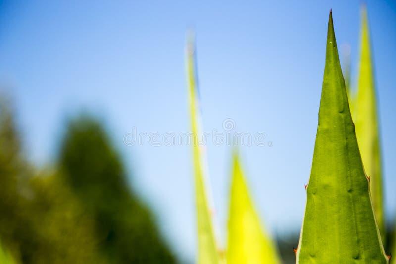 planta con las hojas agudas foto de archivo