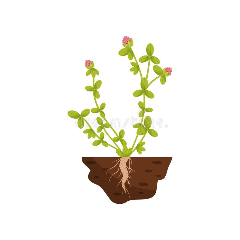 Planta con las peque?as hojas, flores mullidas rosadas Ilustraci?n del vector stock de ilustración