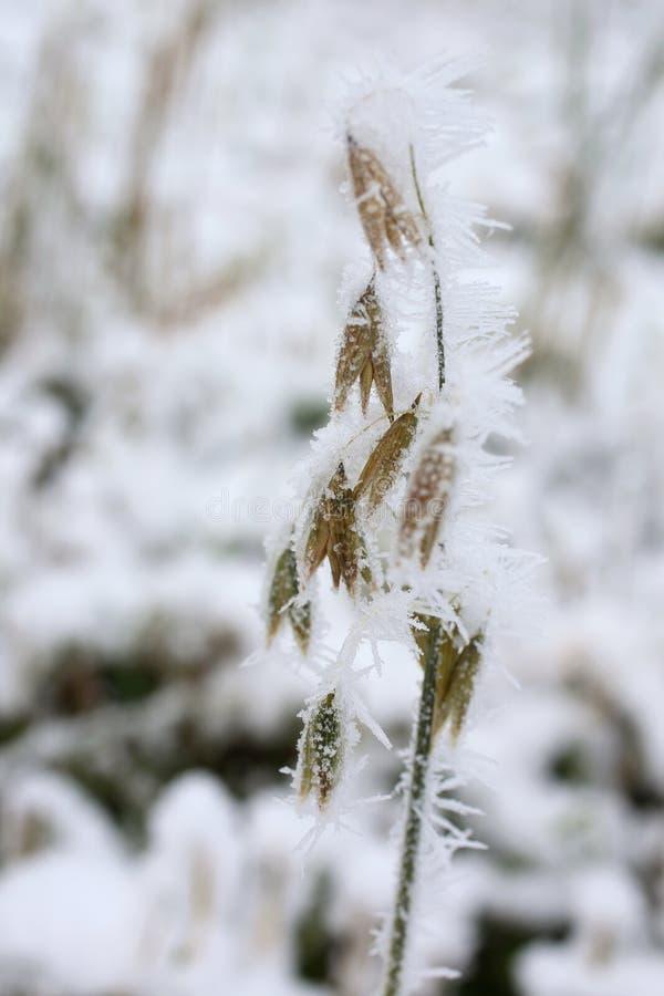 Planta congelada de la avena cubierta con los cristales de hielo foto de archivo